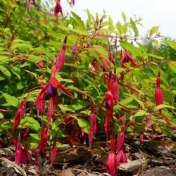 Fuchsia magellanica 'Aurea', winterharte Fuchsie vom Yuccashop -