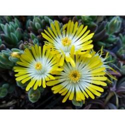 Delosperma Juwelen Gelb, Zwergige Mittagsblumen vom Yuccashop -