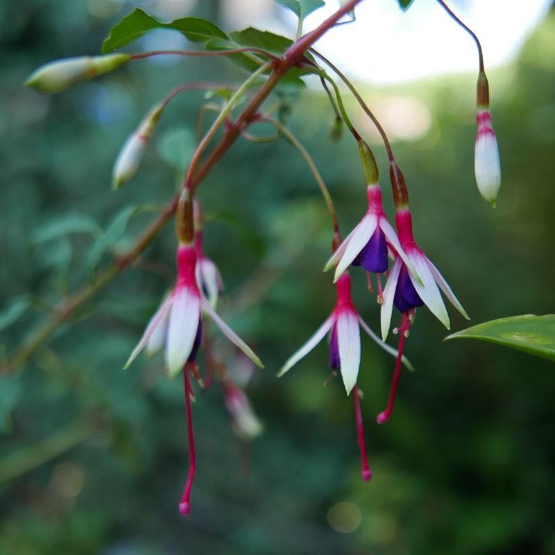 Fuchsia magellanica var. arauco, winterharte Fuchsie vom Yuccashop -