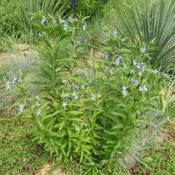 Amsonia elliptica, Asiatischer Blaustern, Stauden, Yuccashop -