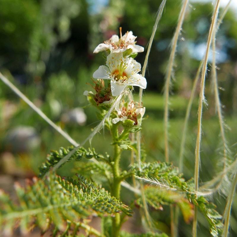 Chamaebatiaria millefolium, Gehölze vom Yuccashop -