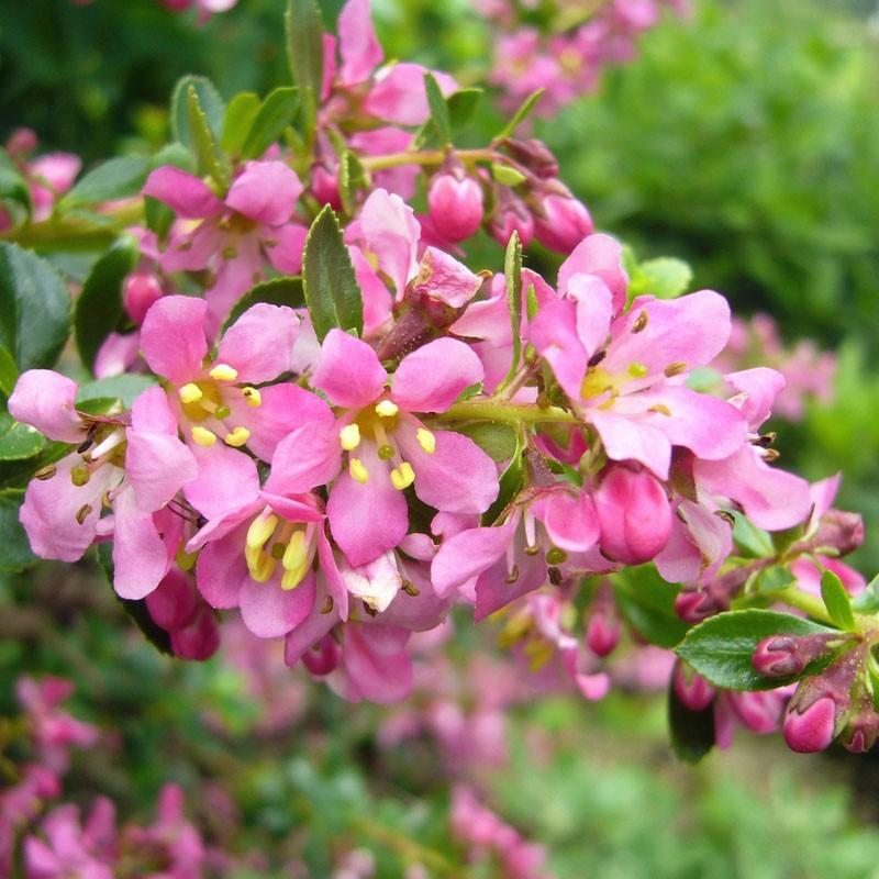 Escalonia 'Dart's Rosyred', Escalonie, Gehölze vom Yuccashop -