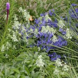 Allium carinatum subsp. pulchellum 'Album', Lauchvom Yuccashop -