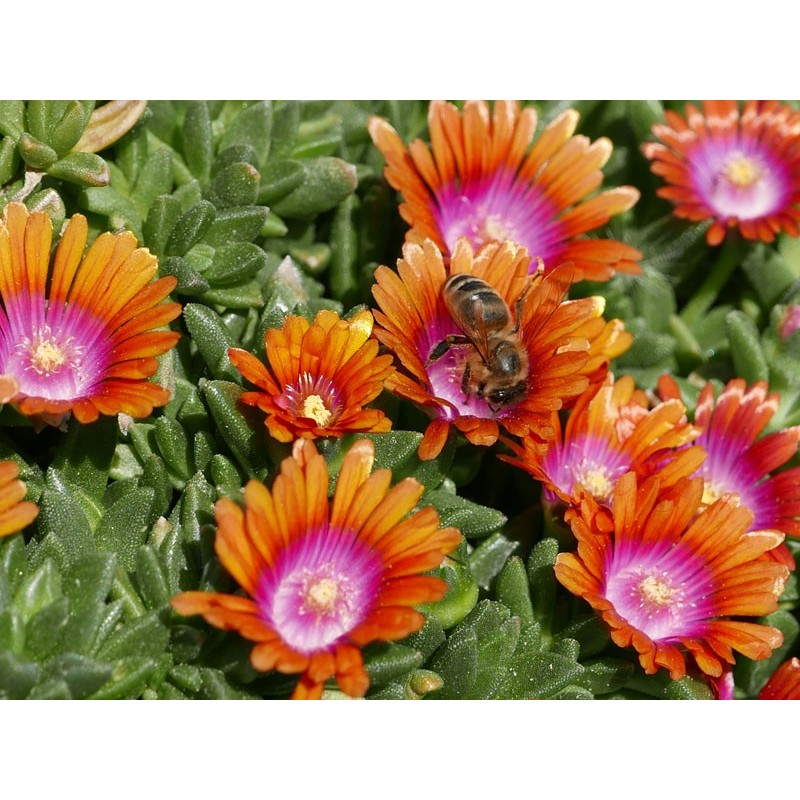 Delosperma 'Indian Summer', Mittagsblumen vom Yuccashop -
