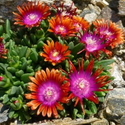 Delosperma 'Indian Summer' Delosperma winterhart kaufen Yuccashop Pflanze