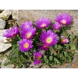 Delosperma hirtum, Borstige Mittagsblumen vom Yuccashop -