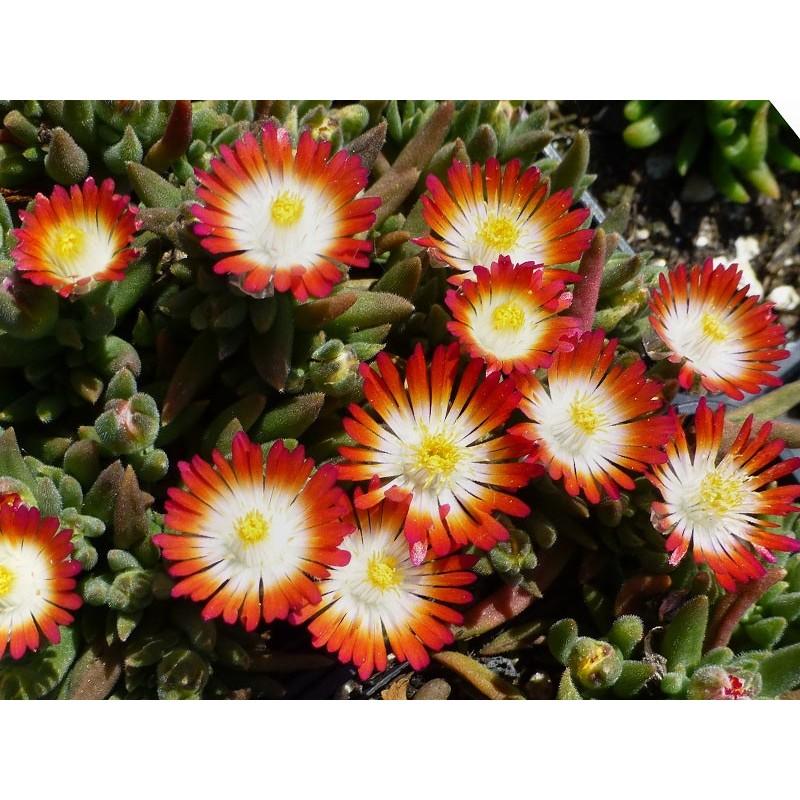 Delosperma 'Hanna', Zwergige Mittagsblumen vom Yuccashop -