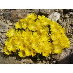 Delosperma 'Gold Nugget', Häufchen-Mittagsblumen vom Yuccashop -
