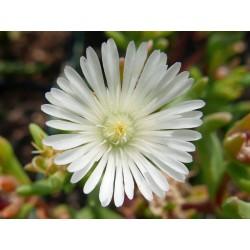 Delosperma 'Snow Wonder', Mittagsblumen vom Yuccashop -