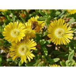 Delosperma floribundum Hyb. ''Gelb'', Mittagsblumen vom Yuccashop -