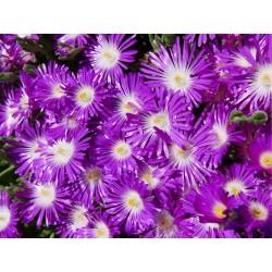Delosperma ''Florina'', Reichblütige Mittagsblumen vom Yuccashop -