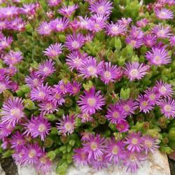 Delosperma ''Flieder'', Zwergige Mittagsblumen vom Yuccashop -