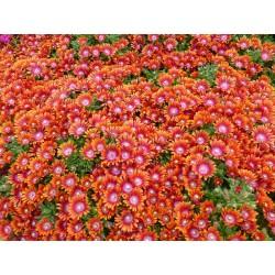 Delosperma dyeri var. laxum ''Orange'', Mittagsblumen vom Yuccashop -