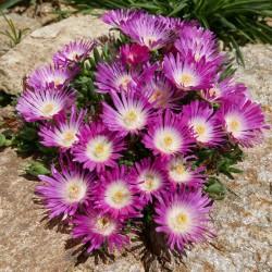 Delosperma dyeri 'Eugen Schleipfer',Mittagsblumen vom Yuccashop -
