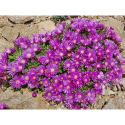 Delosperma deleeuwiae [Menoaneng], Mittagsblumen vom Yuccashop -