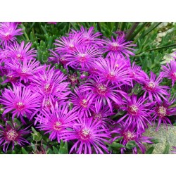 Delosperma cooperi 'Table Mountain', Mittagsblumen vom Yuccashop -