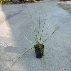 Nolina hibernica, La Siberica, Palme, Bear gras tree, Yuccashop -