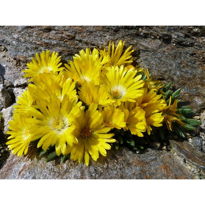 Delosperma congestum 'Lesotho', Mittagsblumen vom Yuccashop -
