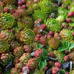 Jovibarba globifera v.hirta, Fransenhauswurz, Donarsbart, Yuccashop -