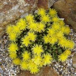 Stomatium agninum, Lammzunge, Vygie, Aizoaceae, Yuccashop -