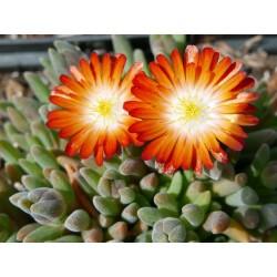 Delosperma ''Terra Cotta'', Zwergige Mittagsblumen vom Yuccashop