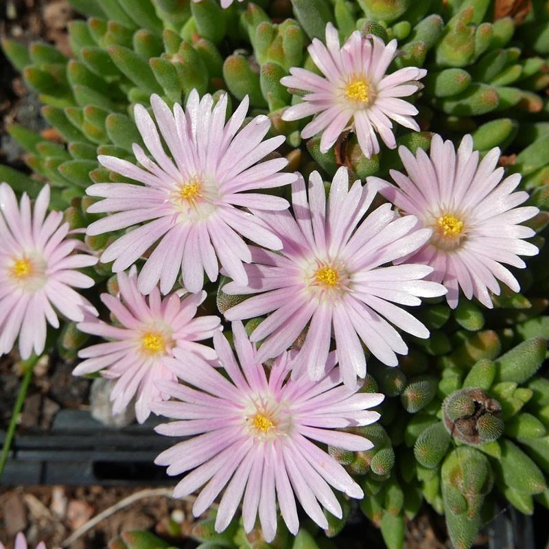 Delosperma ''Rose Drops'', Mittagsblumen im Yuccashop kaufen -