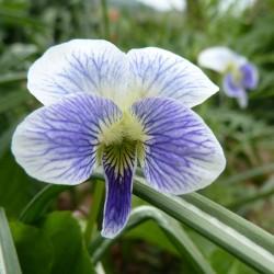 Viola sororia f. priceana, Veilchen im Yuccashop kaufen -