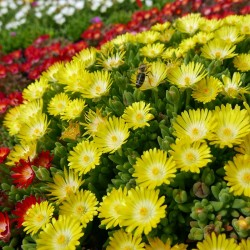 Delosperma ''Lemon Drops'', Mittagsblumen im Yuccashop kaufen -