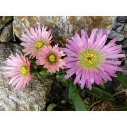 Delosperma ashtonii 'Peach Star', Ashton's Eisblume, Yuccashop -