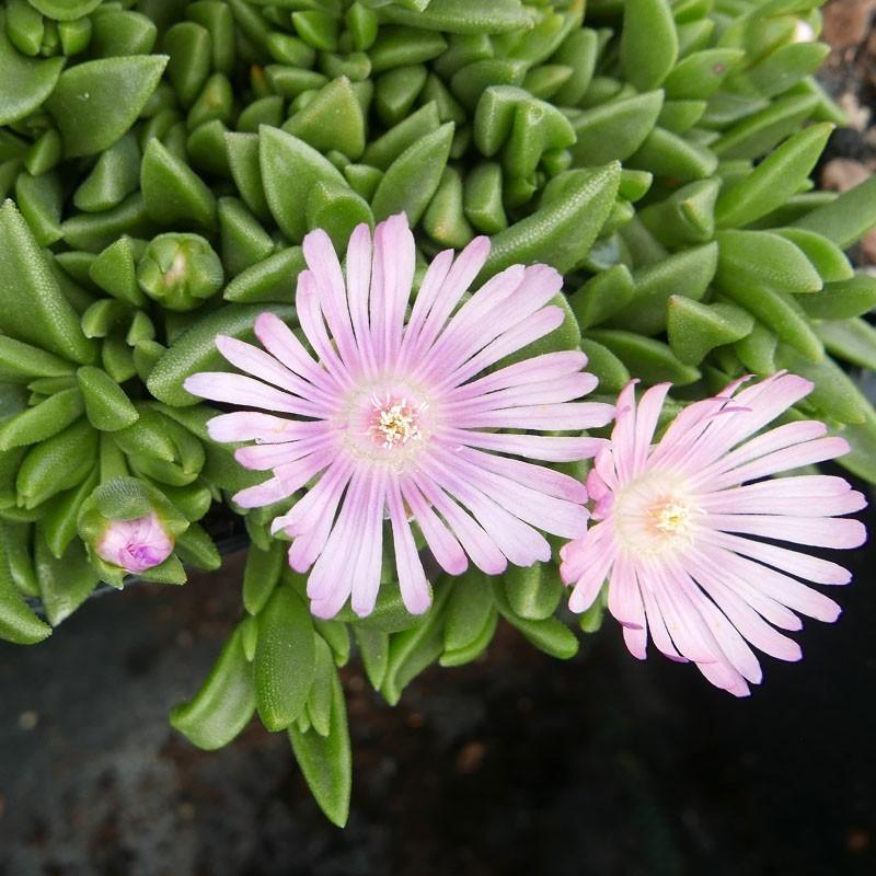 Delosperma ''Pink Pearl'', Mittagsblumen im Yuccashop kaufen -