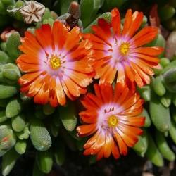 Delosperma ''Exotic Drops'', Mittagsblumen im Yuccashop kaufen -