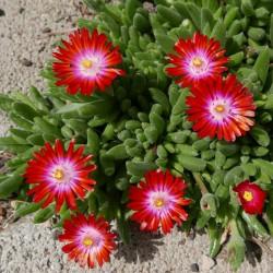 Delosperma ''Cherry Drops'', Mittagsblumen im Yuccashop kaufen -