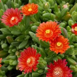 Delosperma ''Solazo'', Mittagsblumen im Yuccashop kaufen -