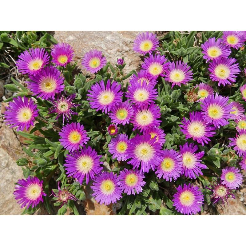 Delosperma ashtonii, Ashton's Mittagsblumen vom Yuccashop -