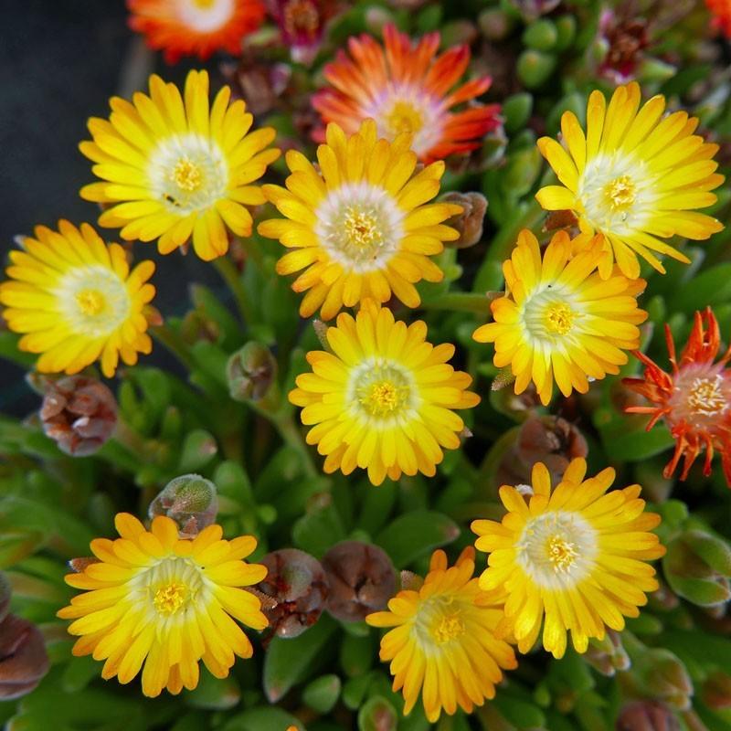 Delosperma ''Golden Drops'', Mittagsblumen im Yuccashop kaufen -