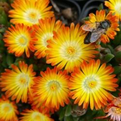 Delosperma ''Mango Drops'', Mittagsblumen im Yuccashop kaufen -