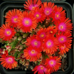 Delosperma  ''Hot Drops'', Mittagsblumen im Yuccashop kaufen -