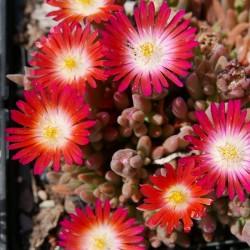 Delosperma ''Raspberry Drops'', Mittagsblumen vom Yuccashop -