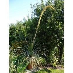Dasylirion serratifolium, winterharter Rauhschopf vom Yuccashop -