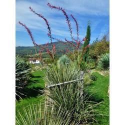 Hesperaloe parviflora, Rote Yucca im Yuccashop -