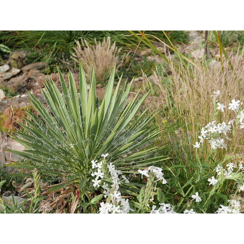 Yucca harrimaniae LZ 2027, Palmlilien vom Yuccashop -