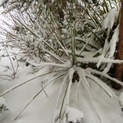 Yucca kanabensis [Kane Co.], Palmlilien vom Yuccashop -