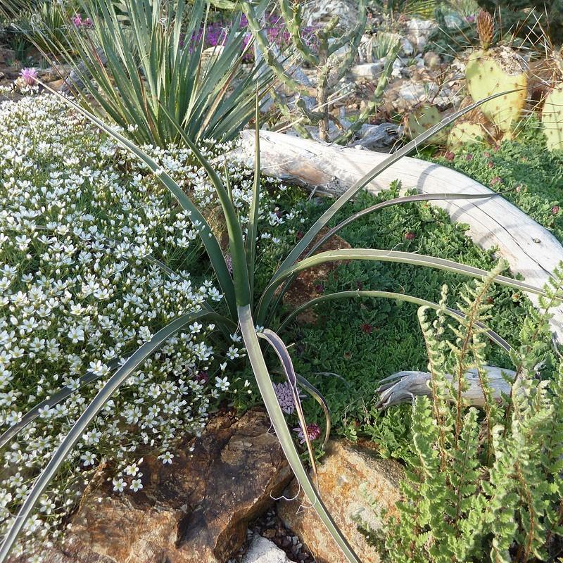 Yucca arizonica [Nogales, AZ], Palmlilien vom Yuccashop -