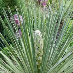 Yucca glauca MG 1985.6, Palmlilien vom Yuccashop -