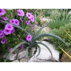 Yucca baccata [San Juan Co.], Palmlilien vom Yuccashop -
