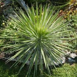 Yucca constricta, Palmlilien vom Yuccashop -