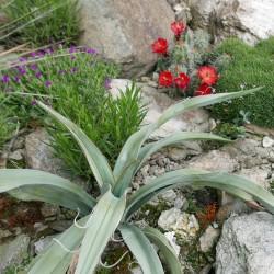 Yucca baccata LZ 2060, Palmlilien vom Yuccashop -