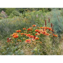 Gaillardia grandiflora, Großblütige Kokardenblume im Yuccashop kaufen -