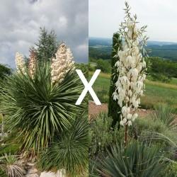 Yucca Hybrid GG 202, Pflanzen für besondere Gärten, Yuccashop -