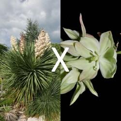 Yucca Hybrid GG 201a, Pflanzen für besondere Gärten, Yuccashop -